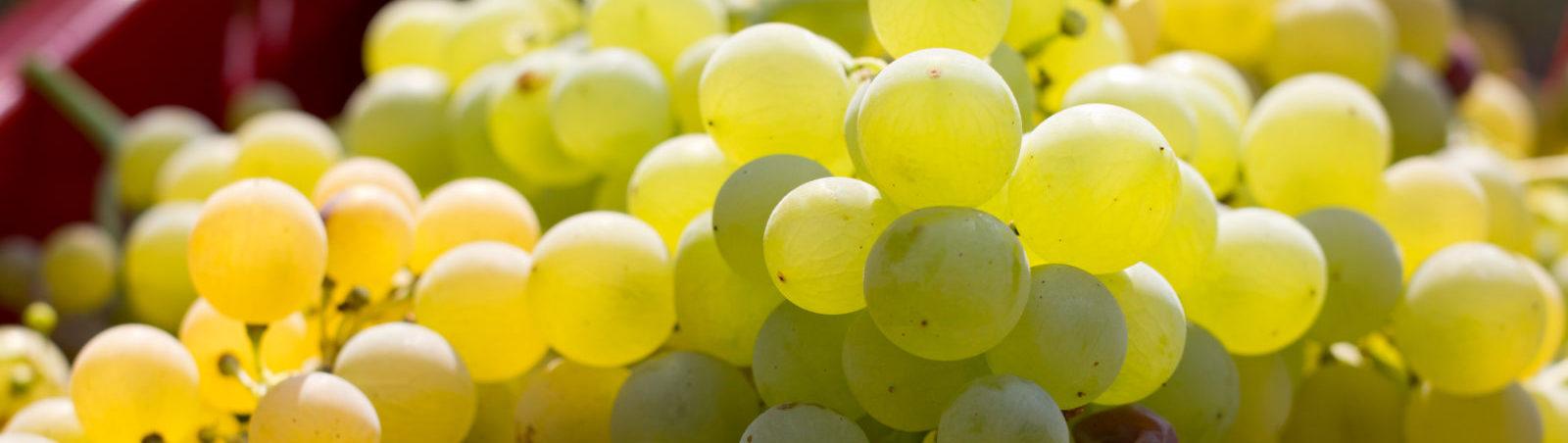Vinene våre