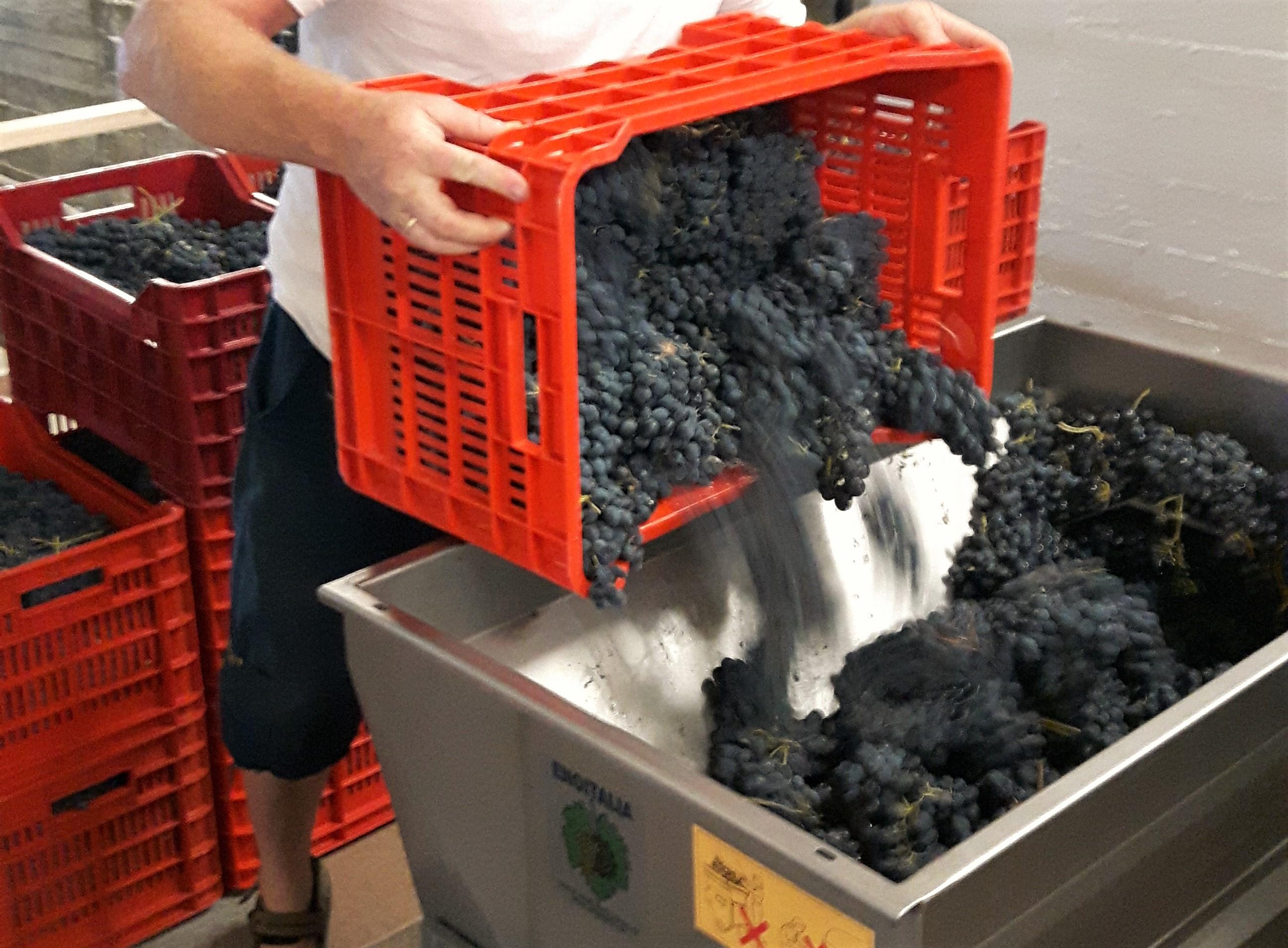 Vinproduksjon på Cascina Castagna, vingård i Piemonte Italia
