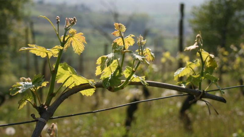 Det spirer i vinmarka, vårtur, vår i vinmarka