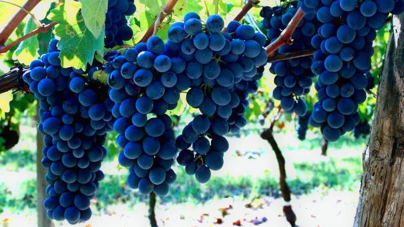 Cascina Castagna vinproduksjon