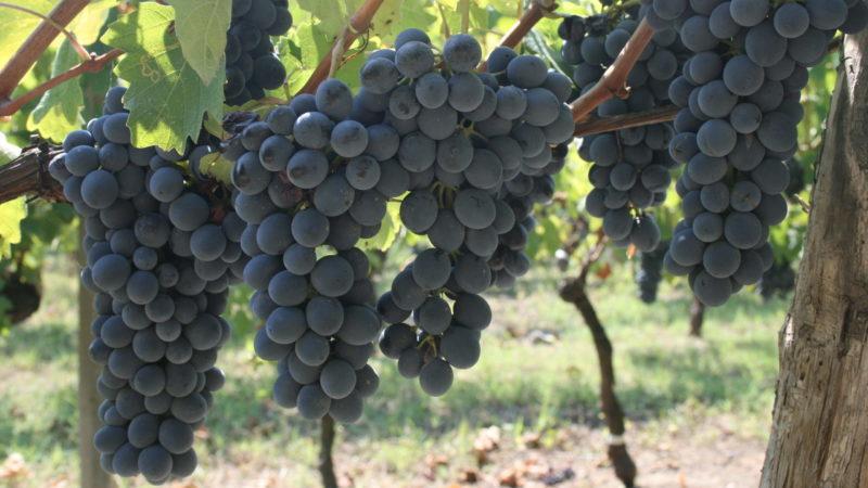 Barbera grapes Cascina Castagna